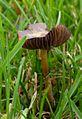 Psilocybe stuntzii growing in a lawn.JPG