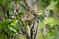 Ptarmigan Chick (7956363286).jpg