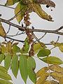 Pterocarya rhoifolia2.jpg