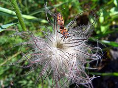 Pulsatilla vulgaris Saarland 04 Corizus hyoscyami.jpg