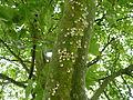 Pulvinaria regalis in Llanelli.jpeg