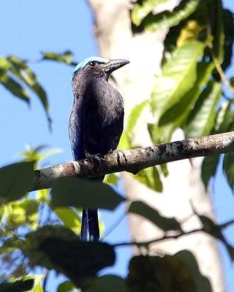 Coracias - Image: Purple winged Roller Coracias temminckii Flickr Lip Kee