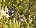 Purple sunbird in its environment.jpg