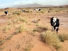 Dykumos augalai vikipedija