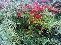 Pyracantha coccinea Fruits Closeup DehesaBoyalPuertollano.jpg