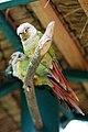Pyrrhura molinae (cinnamon) -KL Bird Park-6a.jpg