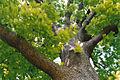 Quercus frainetto kew1.jpg