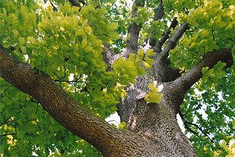 Quercus frainetto - Mature Hungarian oak, Kew Gardens.