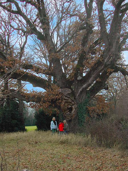 File:Quercus pubescent vénérable.JPG