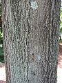 Quercus rubra bark (1).jpg