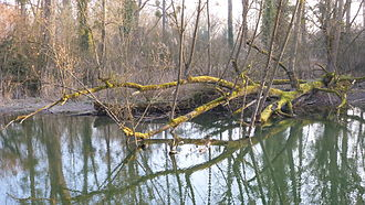 Ried (natural region) - Alluvial forest in Strasbourg (Rohrschollen)