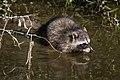 Raccoon (procyon lotor) (10773528176).jpg