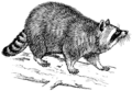 Racoon (PSF).png