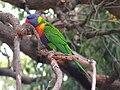 Rainbow Lorikeet, Perth.jpg