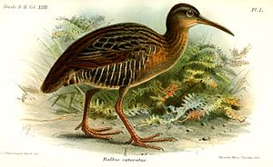 Clapper rail - Gulf Coast clapper rail—Rallus crepitans saturatus
