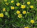 Ranunculus repens2.JPG