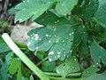 Ranunculus repens Entyloma ranunculi-repenti (01).jpg