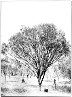 Raspberry Jam in Primer of Forestry Poole 1922.png