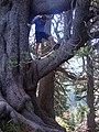 Re Leone - rami come tronchi - panoramio.jpg