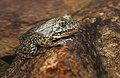 Recovered Mountain yellow-legged frog.jpg