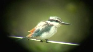 Ficheiro:Red-backed Kingfisher dayboro08.ogv