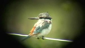 Bestand:Red-backed Kingfisher dayboro08.ogv