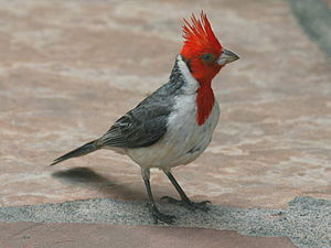 Red-crested cardinal - Fully displayed crest - Maui, Hawaii