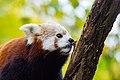 Red Panda (26773077849).jpg
