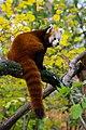 Red Panda (26773518719).jpg