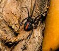 Redback Spider Latrodectus hasselti .jpg