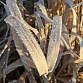 Reeds with frost.jpg