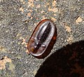Reinforced Darkling Beetle. Cossyphus species ( C. moniliferus-tauricus ) Tenebrionidae (32000124655).jpg