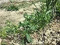 Reseda phyteuma sl73.jpg