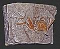 Retroplumidae - Retropluma craverii.JPG