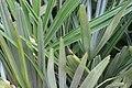 Rhapidophyllum hystrix 19zz.jpg