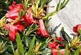 Rhododendron Baden-Baden 0zz.jpg