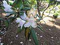 Rhododendron makinoi 01.JPG