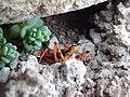 Rhynocoris iracundus 04.jpg