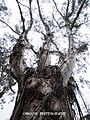 Ribbon Gum in Blue Mountains, No. 2.jpg