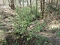 Ribes alpinum 2019-03-30 8429.jpg