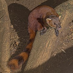 Ring-tailed vontsira (Galidia elegans) 2.jpg