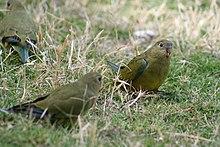 Three greenish parrots sitting on grass