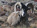 Rocky Mountain Bighorn Sheep 0781.jpg