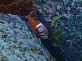 Roman seabream at Phone Reef, False Bay P6250010.jpg