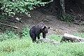 Romania bear (29220790767).jpg