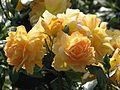 Rosa 'Bernstein Rose' 02.jpg