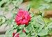 Rosa 'Dame de Coeur' 14072012.jpg