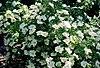 Rosa 'Nevada'.jpg