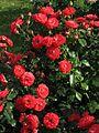 Rosa 'Planten un Blomen' 04.jpg