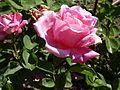 Rosa 'Rosa de Friera' Dot RPO.jpg